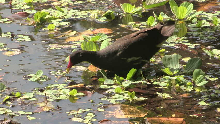 Common Moorhen foraging and feeding chick #996748